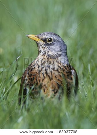 Closeup portrait of the fieldfare in its habitat