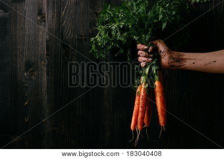 Organic Fresh Harvested Vegetables. Farmer's Hand Holding Fresh Carrots. Black Wooden Background Wit