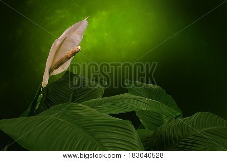 White peace lily, green background - botanical name: Spathiphyllum