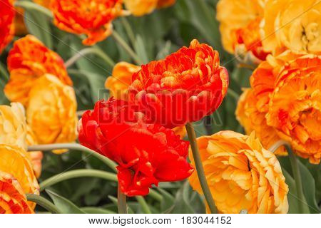 Two red tulips similar to pair of lovers