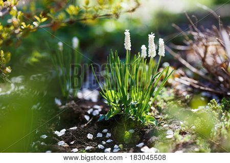 White Muscari neglectum flowers in the spring garden.