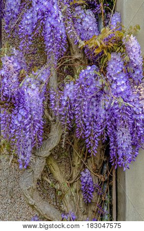 Glorious Wisteria in full bloom in spring