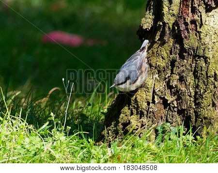 Nuthatch at the root of a tree with greenery