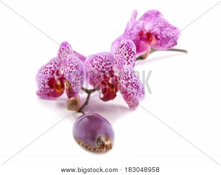 Shell and flowers Orchids (Phalaenopsis) on a white background