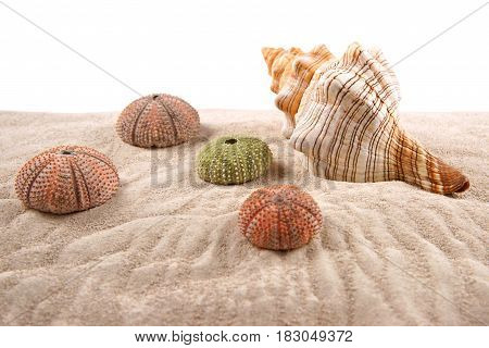 Shell and Dried Sea Urchins on the sand