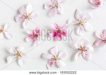 top view on white background filling with sakura flowers. Concept of love. hi key spring pattern. Dof on sakura flower. top view. flat lay.