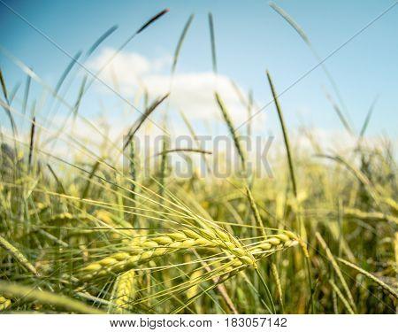 Retro FIltered Wheat Field In The Summer Sun