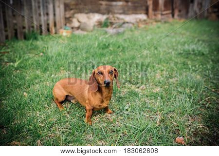 Dachshund Dog In Outdoor. Beautiful Dachshund Standing On The Green Grass. Standard Smooth-haired Da