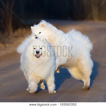 Samoyed dog with puppy playing on sandy road at sunset. Springtime square outdoors image.
