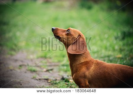 Portrain In Profile Of Dachshund Dog In Outdoor. Beautiful Dachshund Standing On The Green Grass. St
