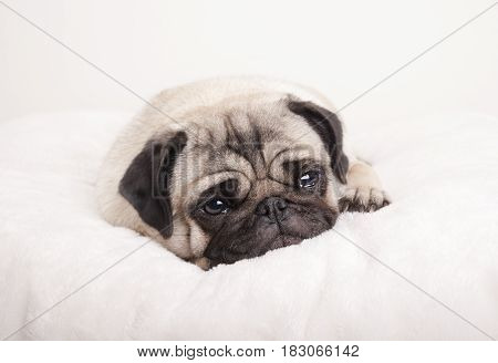 sad little pug puppy dog lying down crying on fuzzy blanket