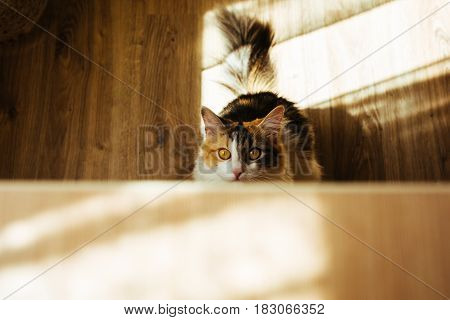 Ginger Three Color Cat Is Ready To Jump On Table. Warm Toning Image. Lifestyle Pet Concept.