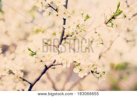 instagram tone spring white blossom cherry tree flowers selective focus