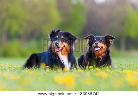 Portrait Of Two Australian Shepherd Dogs