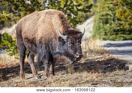 Young American Bison Grazing In Yellowstone National Park, Usa.