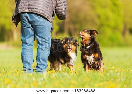 Australian Shepherd Dog Standing On The Meadow
