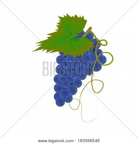 Bunch of grapes . Dewdrops. Green leaf . Ripe, juicy berries. Vector.