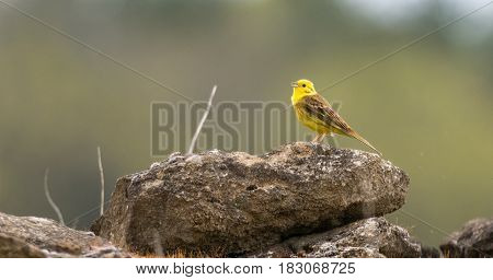 Yellowhammer (Emberiza citrinella) singing on wall. Male songbird in the bunting family (Emberizidae) with bright yellow head and breast
