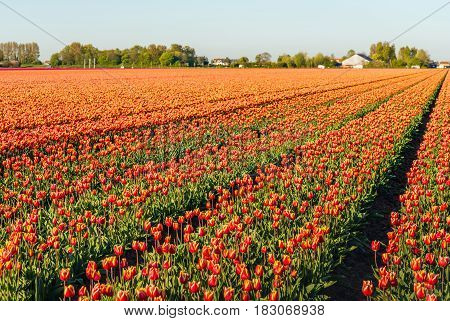 Red with yellow colored tulip flowers in long converging flower beds at a specialized Dutch bulb nursery. It is early in the morning of a sunny day in the beginning of the spring season.