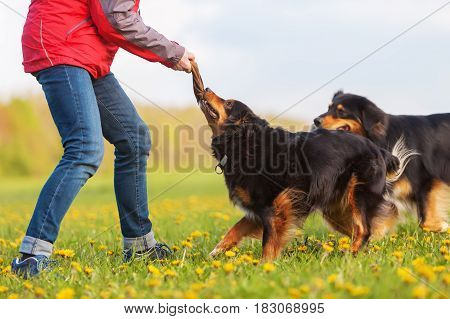 Woman With Two Australian Shepherd Outdoors