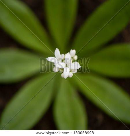 Woodruff (Galium odoratum) flowers from above. White inflorescence of low growing woodland bedstraw in the family Rubiaceae showing leaf whorl