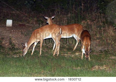 Whitetail Deer Bambi Doe Fawn