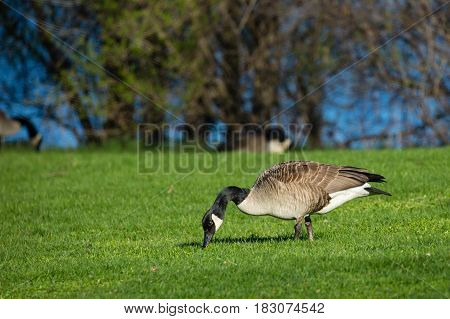 Canada goose (branta canadensis) eating in a green field by a Wisconsin lake