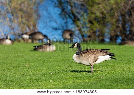 Canada geese (branta canadensis) standing in a field by a lake
