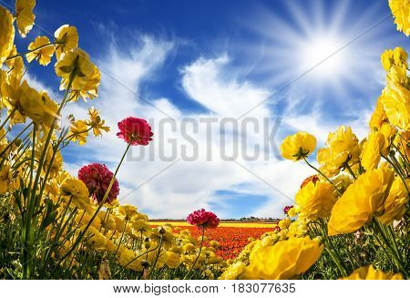 The southern warm sun illuminates the flower fields of red and yellow garden buttercups- ranunculus. Wind drives the clouds. Collage