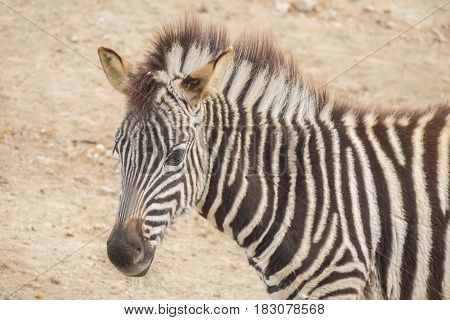 Young Zebra Chapman Equus Burchelli Chapmani staying quite