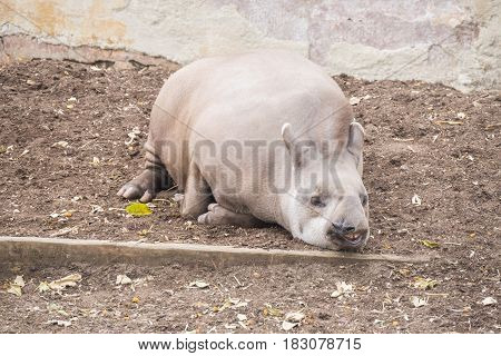 Brazillian tapir sleeping lying on the ground Tapirus terrestris