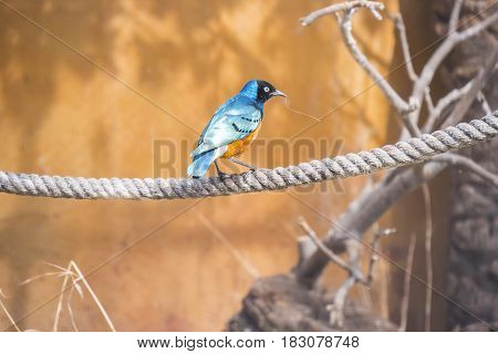 Superb starling perched on a rope Spreo Superbus