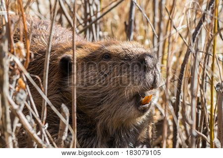 A Beaver in the Bushes Gathering Dam Materials