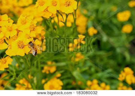 A honey bee collecting pollen from a bright yellow Tarragon flower.