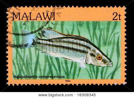 Malawi - Circa 1984: A 2-tambala Stamp Printed In Malawi Shows The Freshwater Cichlid Fish Haplochro