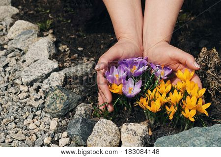 hands holding yellow and purple crocuses. the concept of careful attitude to nature.