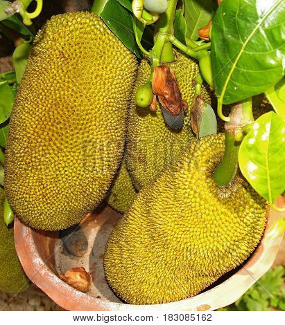 Three large Jackfruit hanging from the tree into a clay pot.