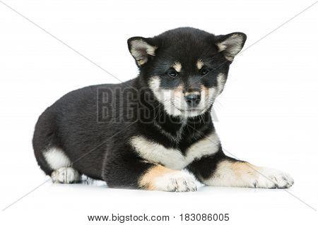 Beautiful black japanese shiba inu puppy dog lying. Isolated on white. Copy space.