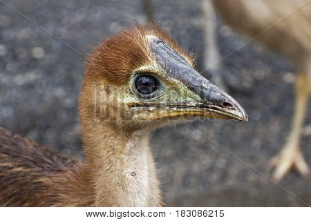 close up of emu chick side view