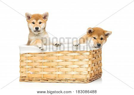 Beautiful brown japanese shiba inu puppy dogs sitting in basket isolated on white background. Copy space.