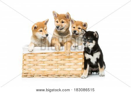 Four beautiful brown  and black japanese shiba inu puppy dogs sitting in basket isolated on white background. Copy space.