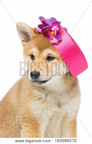 Beautiful brown japanese shiba inu puppy in pink hat dog sitting. Isolated on white. Copy space.