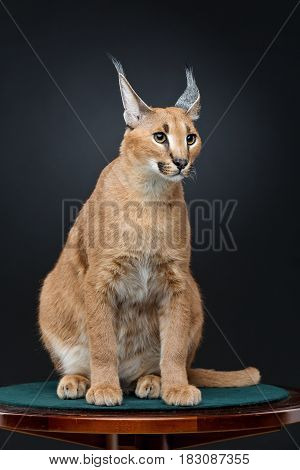 Beautiful caracal lynx 6 months old kitten sitting on table over black background. Studio shot. Copy space.