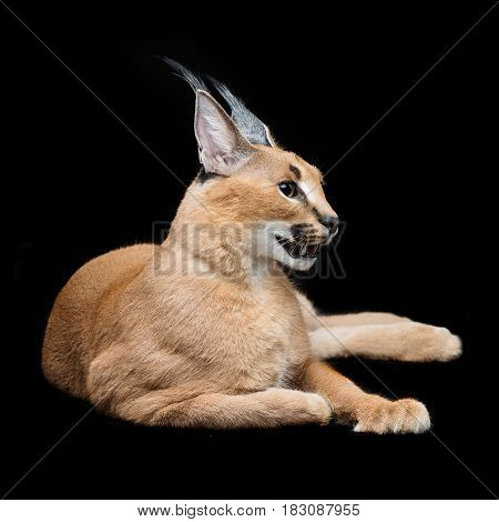 Beautiful caracal lynx 6 months old kitten lying on black background. Studio shot. Copy space.