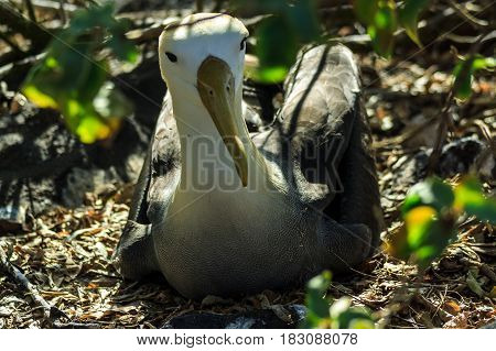 Albatross from the Galapagos Islands sitting on the ground