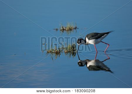 A Black-necked Stilt Searches for Food in the Water