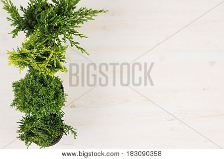 Modern minimalist composition with border of conifer plants in pots top view on white wooden board background. Blank copy space.