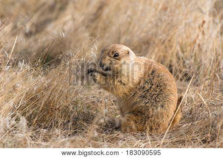 A Prairie Dog Giving an Annoyed Snarl