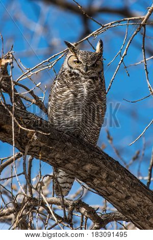 A Great Horned Owl Perched on a Branch