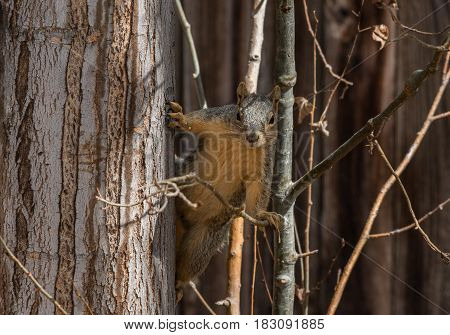A Fox Squirrel in a Tree Wondering What's Going on